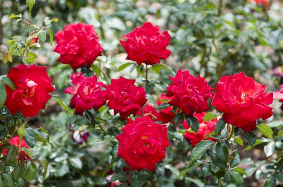 Куст бордовых роз