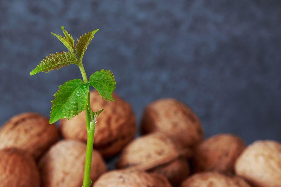 Когда пересаживать грецкий орех весной или осенью