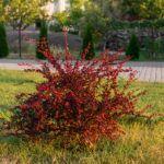 Как вырастить барбарис Атропурпуреа