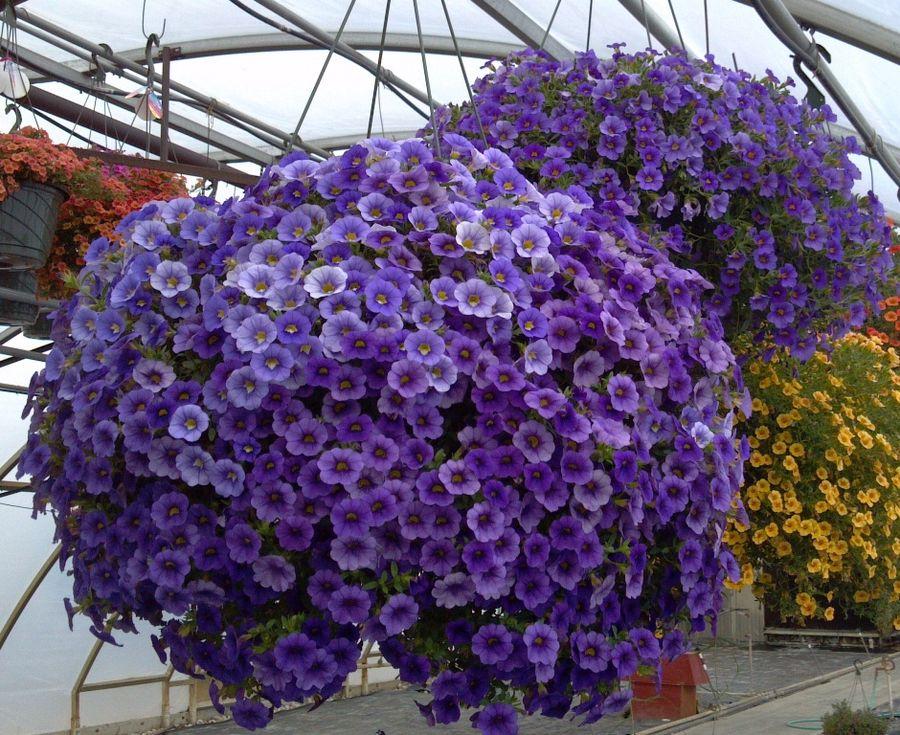 Как называется цветок похожий на петунию 5