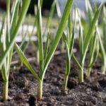 Что сажать после уборки чеснока и получить обильный урожай