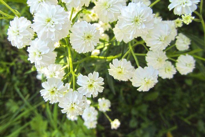 Жемчужинка цветок многолетний