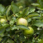 яблоко антоновка