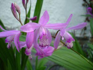 орхидея блетилла