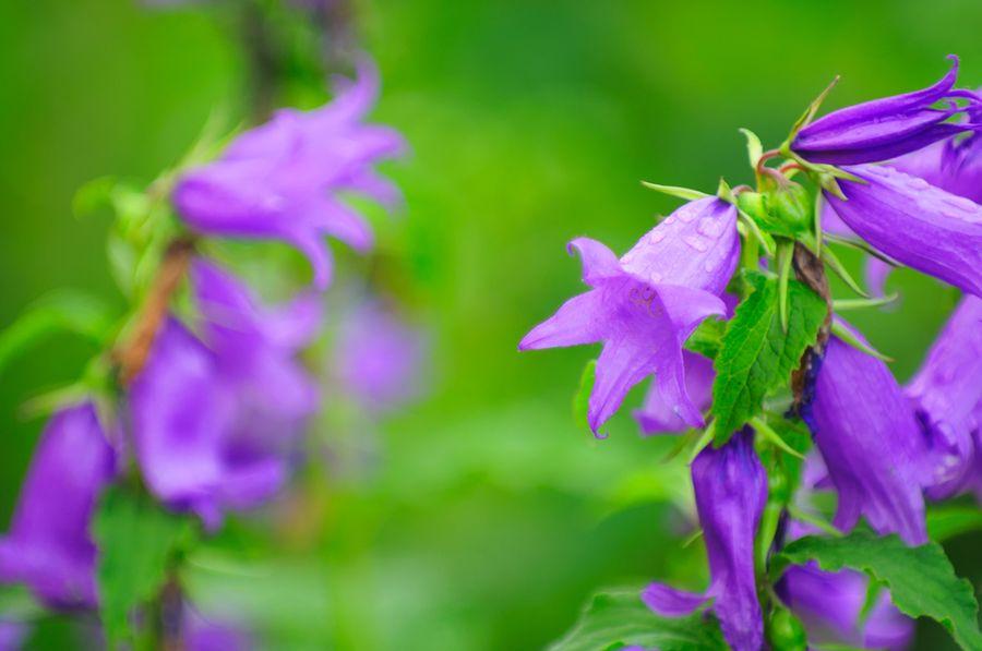 Особенности выращивания колокольчика широколистного