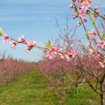 Прививка персика на сливу: способы и ошибки