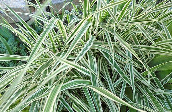 Трава фалярис
