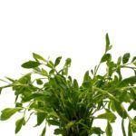 Трава спорыш: лечебные свойства, применение, фото