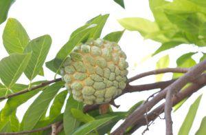 Из коры и листьев анноны в Южной Америке делают успокаивающий чай