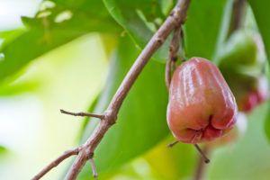 водяное яблоко