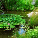 Растения для пруда