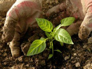 Болгарский перец - теплолюбивое растение