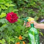 Роза подкормка