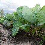 Можно ли обрывать нижние листья у капусты