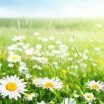 Лечебные свойства ромашки аптечной и противопоказания к применению