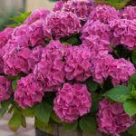 Гортензия садовая: особенности  ухода