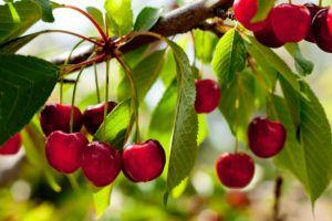 Владимирская вишня