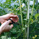 Как правильно пасынковать помидоры в открытом грунте: советы и примеры