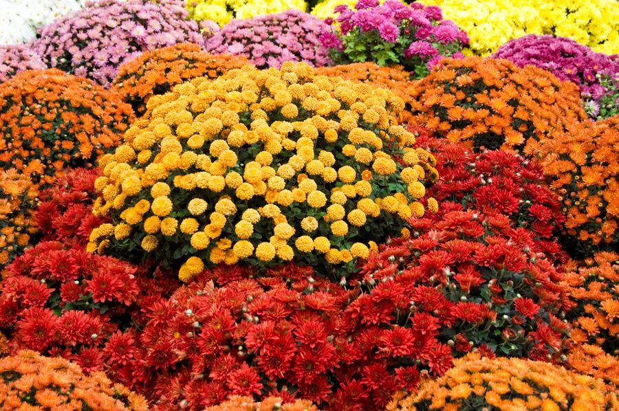Ранние сорта хризантемы, фото и описание
