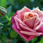 Крупный цветок розовой розы
