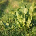 Перед тем, как сажать хрен, стоит огородить участок, чтобы защитить другие культуры
