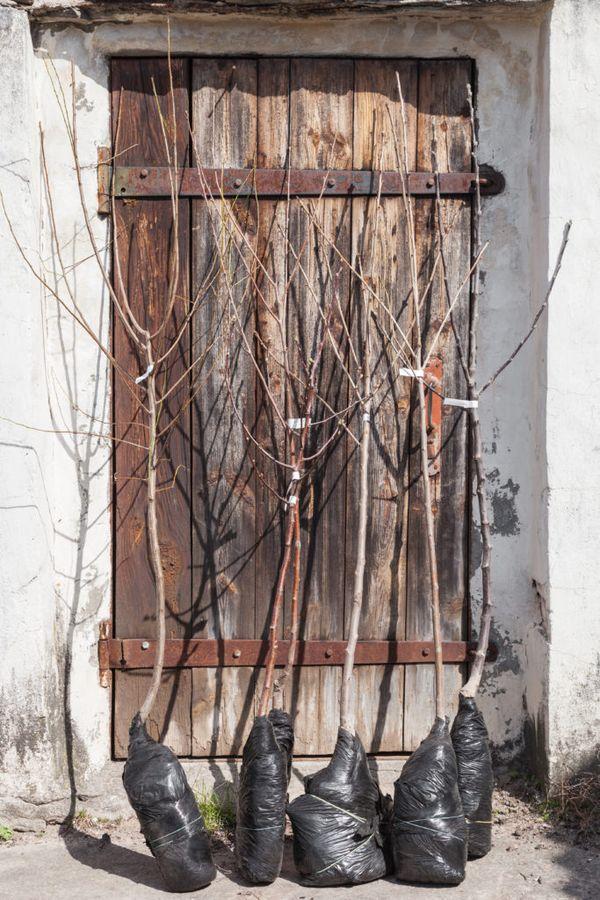 Перевозка саженцев в надлежащих условиях - залог быстрой приживаемости деревьев