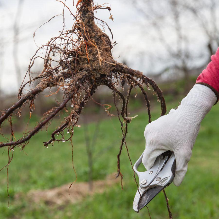 Перед посадкой корни необходимо ещё раз осмотреть и срезать подгнившие отростки