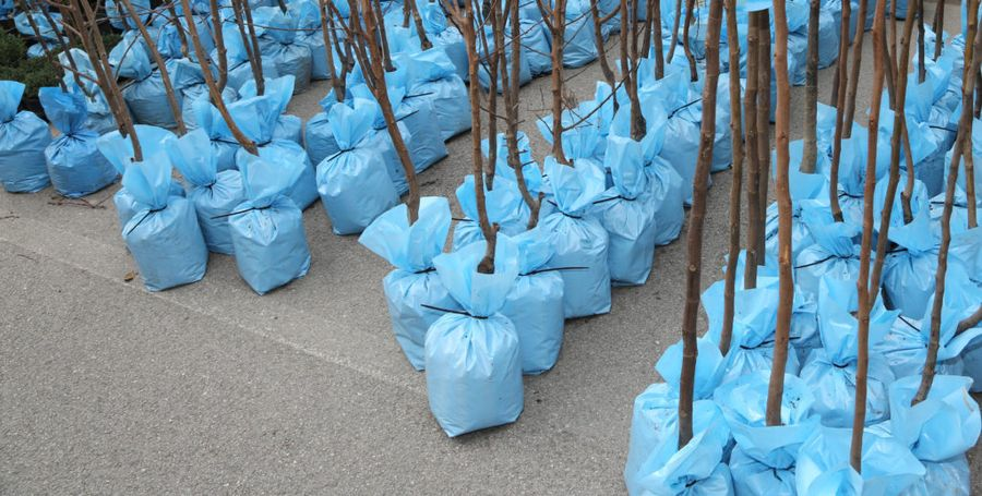 Несмотря на то, что саженцы часто продают в пакетах, нужно развернуть и осмотреть корни