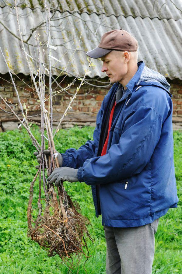 Питомник на даче даёт возможность правильно сформировать будущий сад