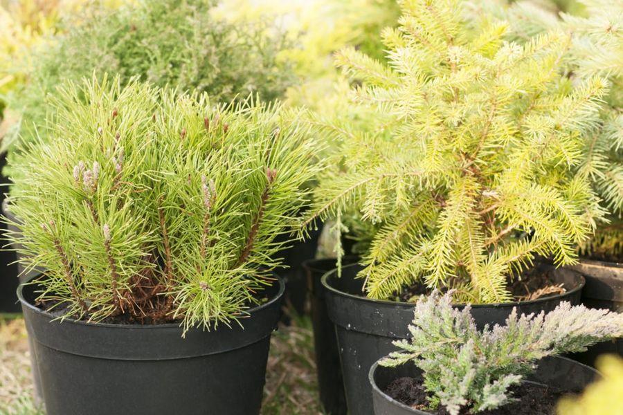 Черенкованием хорошо размножаются декоративные деревья и кустарники