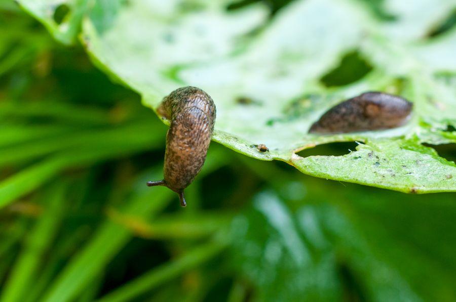 Слизни повреждают 150 видов растений