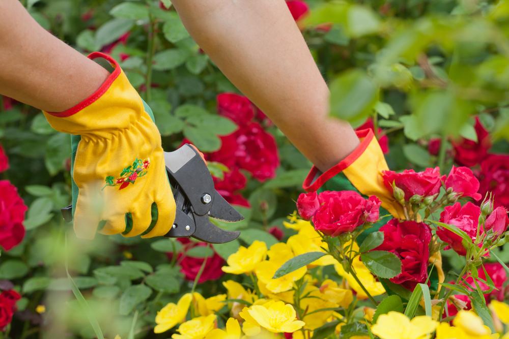 Удаляйте листья с кустов в перчатках — розы очень колючие