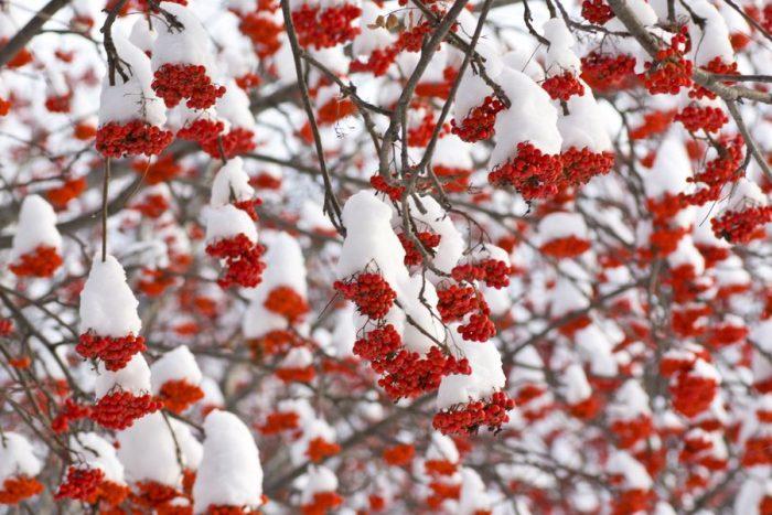 Красная рябина хорошо переживает зиму - её ягоды становятся только слаще