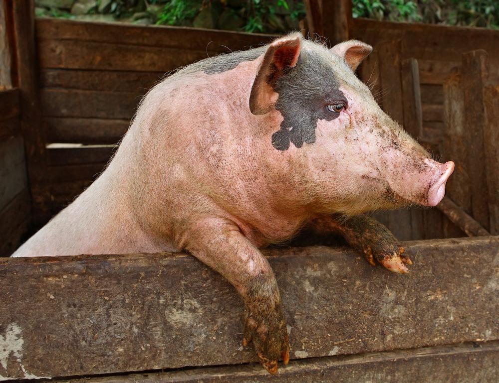 Свиной навоз лучше смешивать с конским, чтобы он быстрее перегнил