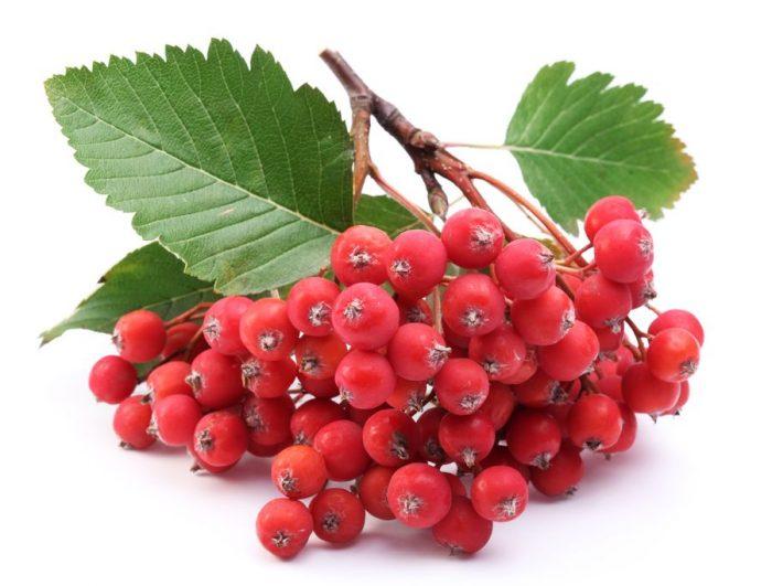 Красная рябина - символичное растение для России