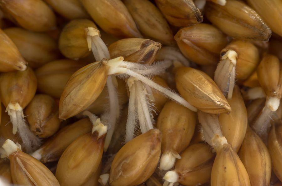 Пророщенные зёрна ячменя - органический стимулятор корней
