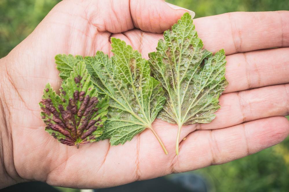 Постепенно тля занимает всю поверхность листа и листья отмирают.