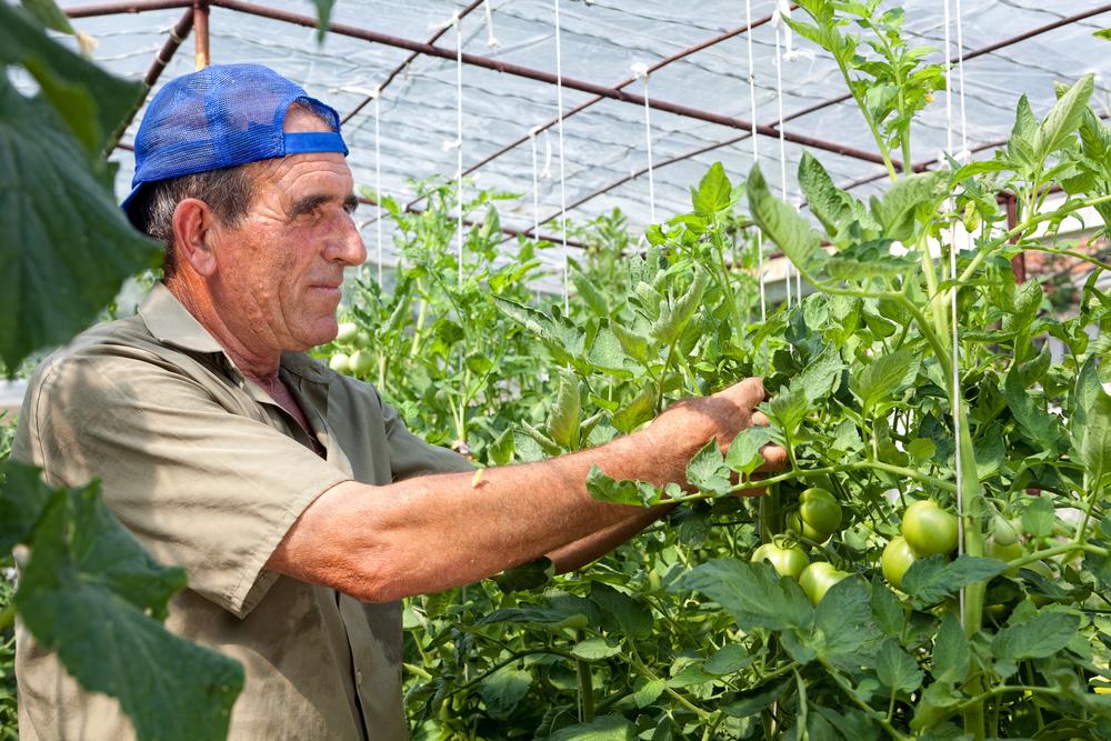 Раствором борной кислоты обрабатывают все части растения: корни, листья и цветы.