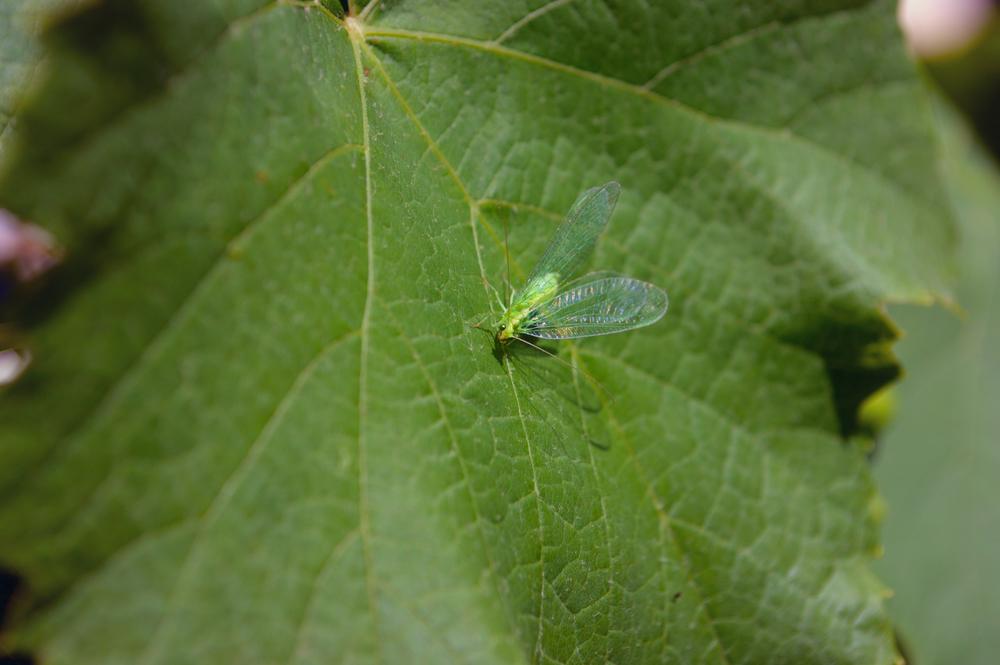 Это златоглазка — насекомое, которое может уничтожить до 150 особей тли за сутки
