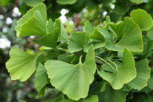 Гинкго двулопастный: особенности выращивания