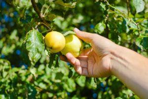 Яблоня - сбор урожая