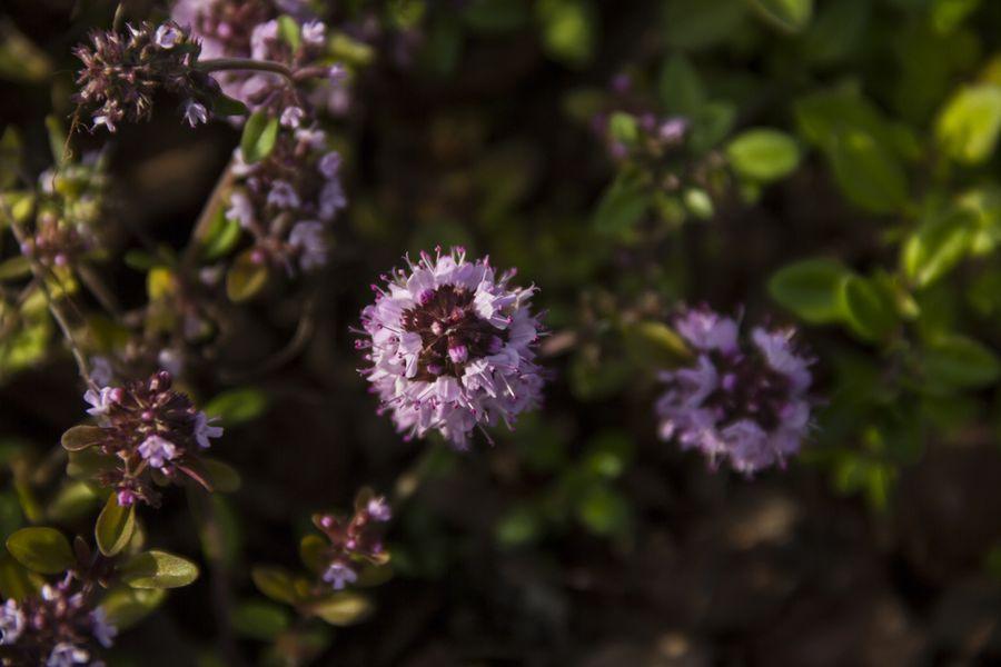 Посадка тимьяна и уход за ним – этот просто! Выращивание, размножение, посадка тимьяна и уход за растением на приусадебном участке