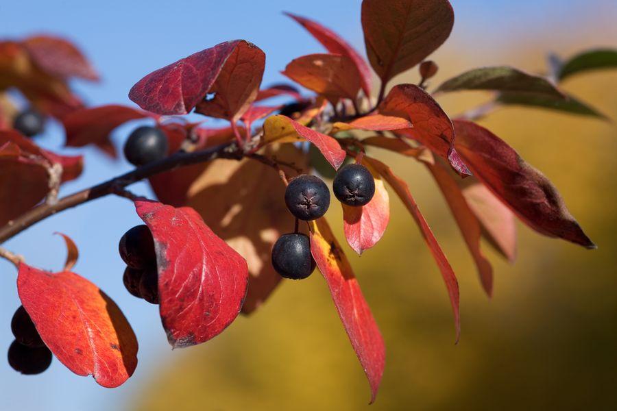 Черноплодная рябина или арония
