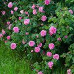 паутинный клещ на розах