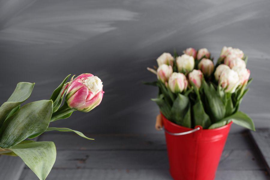 Тюльпан Пломбир мороженое Айс Крим описание и распространение сорта