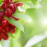Колоновидная вишня