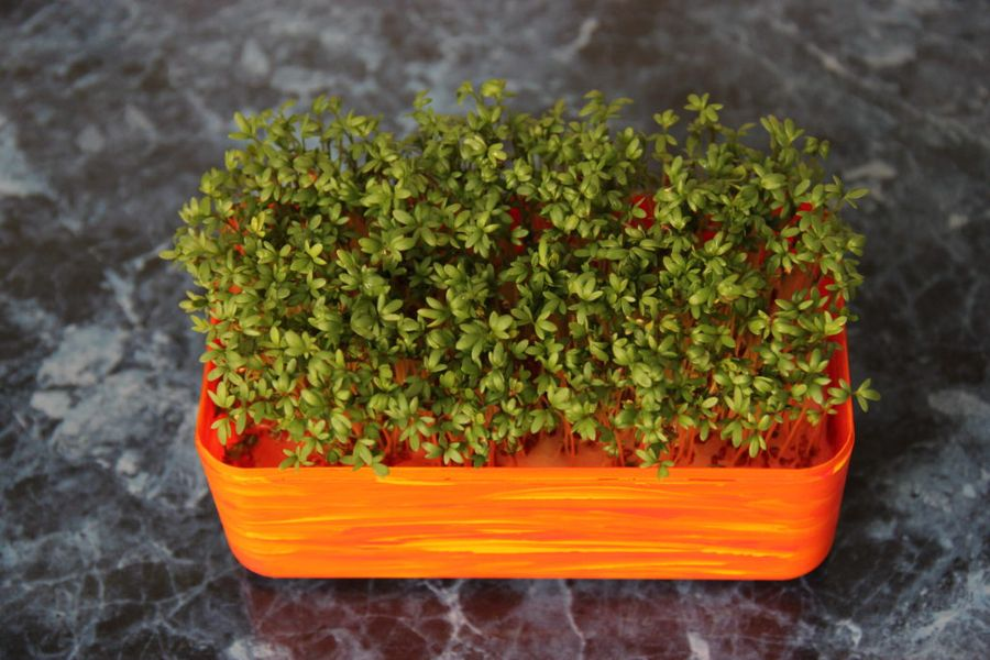 Кресс-салат - самая неприхотливая зелень на подоконнике