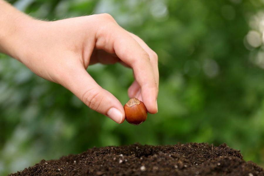Фундук размножают семенами, но лучший способ - вегетативный