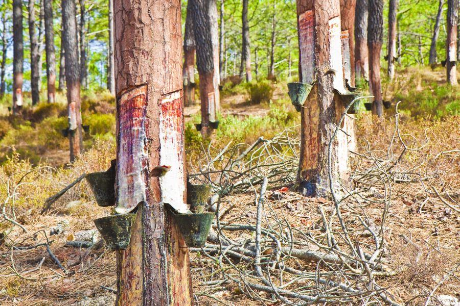 Получаемая таким способом смола хвойных деревьев также входит в состав многих садовых варов