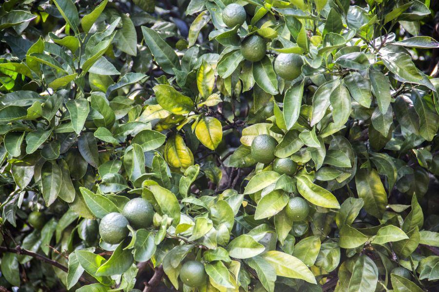 Орехи в саду вырастить под силу каждому дачнику